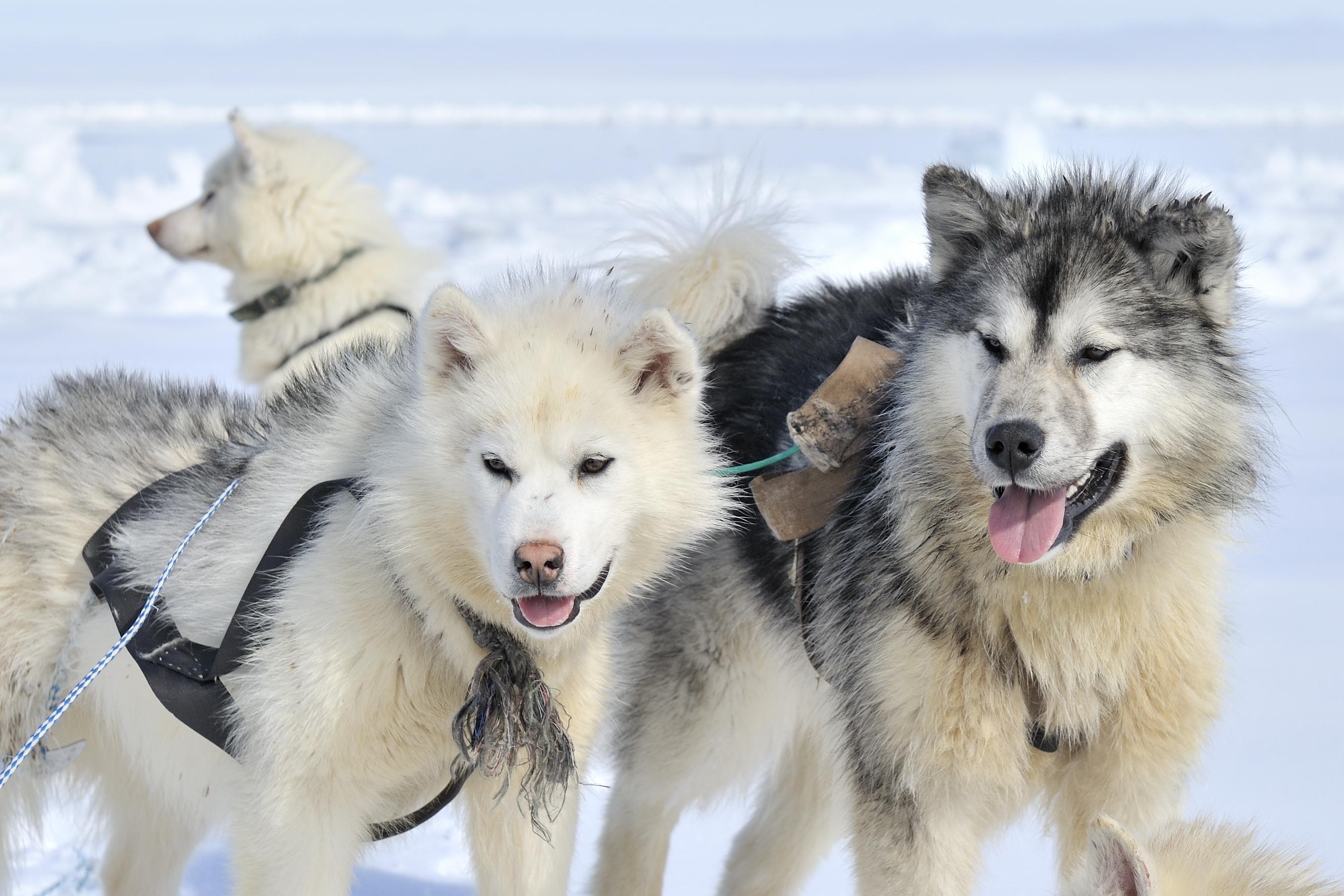 Husky sled dog in snow